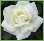 White Rose Meaning Symbolism 180x168