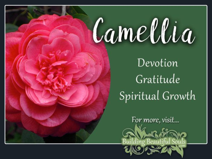 Camellia Meaning Symbolism Flower Meanings 1280x960