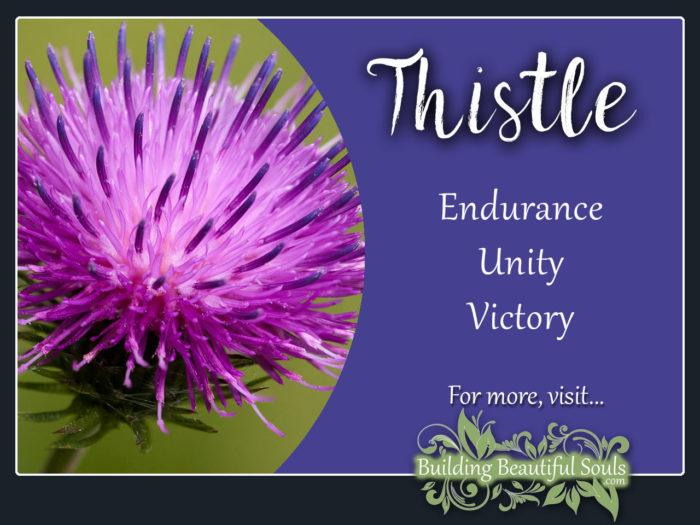 Thistle Meaning Symbolism Flower Meanings 1280x960