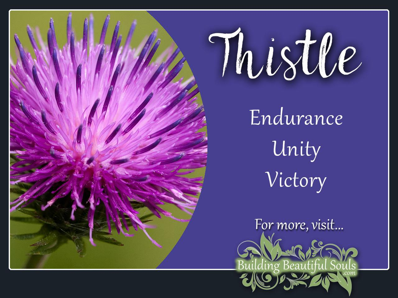 Thistle Meaning Symbolism Flower Meanings Symbolism