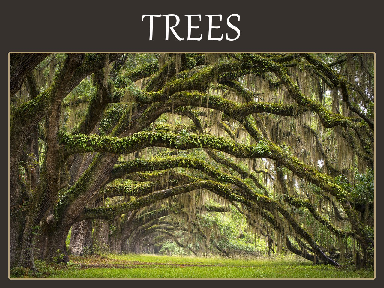 Tree symbolism meanings dogwood oak sequoia cherry What is the meaning of tree